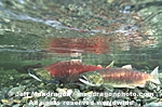 Spawning Sockeye Salmon images