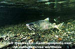 Spawning Chum Salmon images
