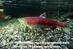Spawning Sockeye Salmon photos