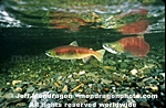 Spawning Sockeye Salmon pictures