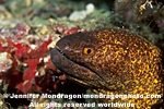 Yellow-margined Moray images
