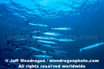 Schooling Chevron Barracuda photos