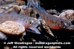 Chinook Salmon Alevin photos