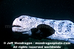 Wolf-eel photos
