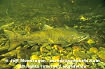Chinook Salmon images