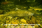 Chinook Salmon pictures