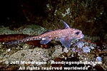 Spotted Ratfish pictures