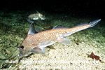 Spotted Ratfish images