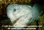 Wolf-eel pictures