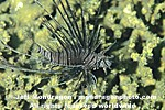 Common Lionfish images