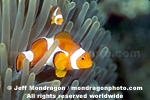 Clown Anemonefish images