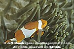 Clown Anemonefish pictures