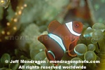 Spine-cheek Anemonefish pictures