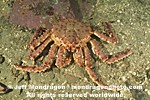 Alaskan King crab images