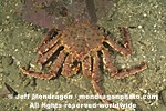 Alaskan King crab pictures