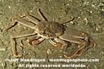 Tanner Crab images