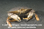 Dungeness Crab images