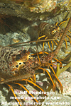 California Spiny Lobster pictures