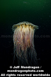 Fried Egg Jellyfish  images