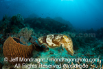 Broadclub Cuttlefish images