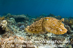 Broadclub Cuttlefish photos