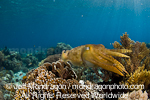 Broadclub Cuttlefish pictures