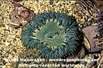 Aggregating Anemone pictures