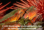 Red Rock Crab images