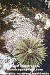 Green Sea Urchin pictures