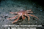 Red King Crab pictures