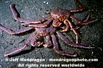 Red King Crab photos