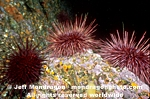 Red Sea Urchins images