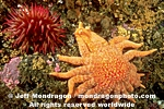 Sunflower Star images