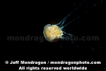 Lion�s Mane Jellyfish images