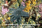 Sunflower Star pictures