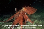 Giant Pacific Octopus photos
