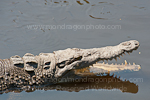 American Crocodile pictures