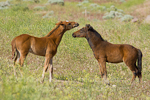 Baby Wild horses (colts) pictures