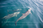 Pantropical spotted dolphins photos