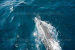 Pantropical spotted dolphin images