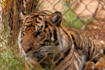 Sumatran tiger photos