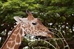 Reticulated Giraffe pictures