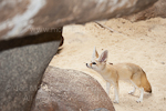 Fennec fox photos