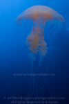 Atlantic Sea Nettle (jellyfish) photos