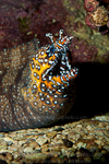 Dragon moray images