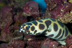 Magnificent snake eel pictures
