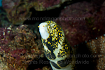 Snowflake moray photos