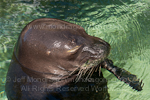 Hawaiian monk seal pictures
