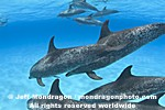 Spotted Dolphins pictures
