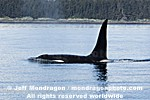 Killer Whale images